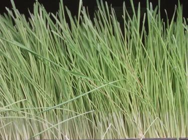 Flat Of Wheatgrass